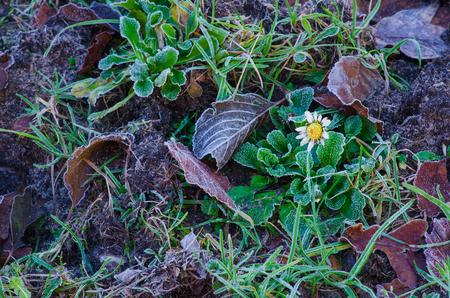 渡された季節を思い出させる枯れデイジーの花と秋の終わりに地面に最初の霜 写真素材
