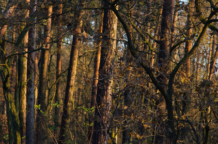 the almost bare forest awakens to the warming rays of sunlight of the early morning in the end of autumn