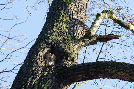 owl, a typical nocturnal bird of prey, spending its daytime sleepy in a tree hollow 写真素材
