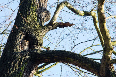 owl in its housing, the tree hollow, though mostly sleeping  during the sunny day time, but with one eye open and vigilant
