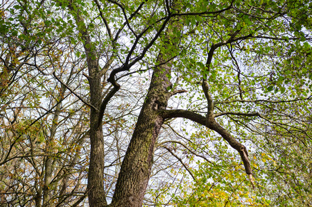 Large old forest  tree harboring a small owl during autumn