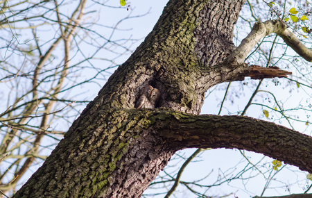 owl glancing sleepily out of its tree hollow during a sunny autumn day