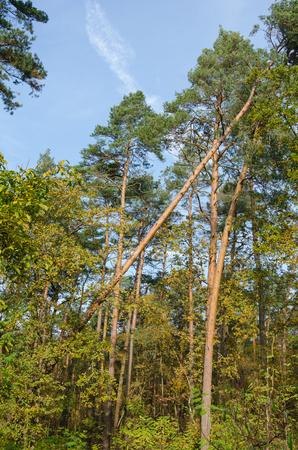 Albero caduto ma supportato dai vicini nella foresta dopo una forte tempesta Archivio Fotografico - 93195108
