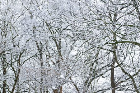 background of forest tree branches covered in snow