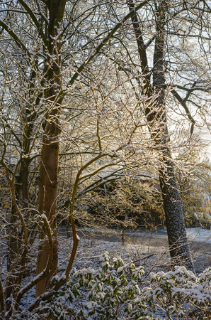 Early morning sunshine illuminating snow covered tree branches in the wintery countryside 写真素材