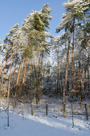 large trees with snow covered tops in winter 写真素材