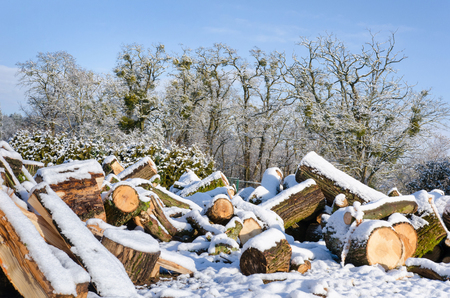 heap of large tree logs covered in snow in front of old trees on a clear winter day