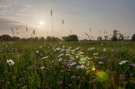Sunset over a field of daisy flowers on a beautiful spring evening in the countryside