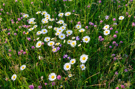 Daisies blooming in the wild flower field