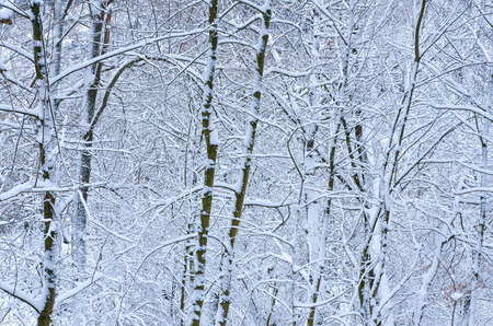 background of bare trees and branches covered with fresh snow Standard-Bild - 116519724