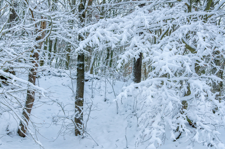 tree branches covered with snow in the natural forest of the Harz region of central Germany 写真素材