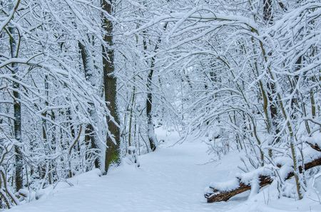 a natural path through the snowy forest in the Harz mountains in central Germany