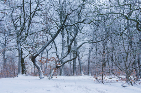wonderful interplay between shapes of bare trees and pristine snow in the natural forest in the Harz mountains