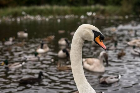 Swan portrait on lake. Swan is swimming in the lake of Coventry park, UK