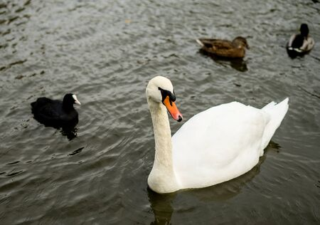 Swan is swimming in the lake of Coventry park, United Kingdom 版權商用圖片