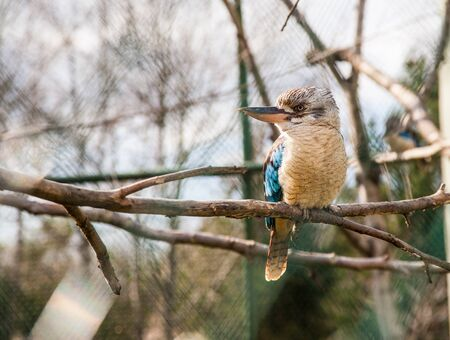 Blue-winged kookaburra bird