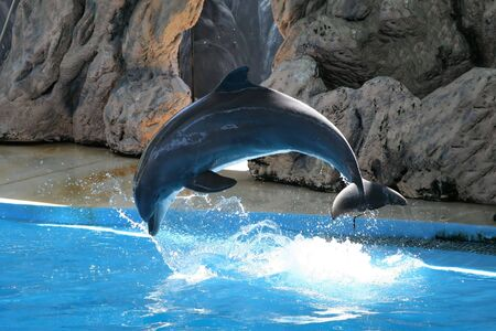 dolphin jumping: Dolphin jumping in pool