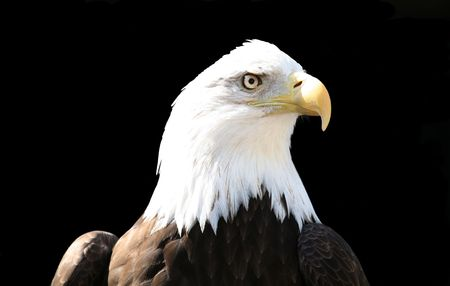 Bald eagle over black photo