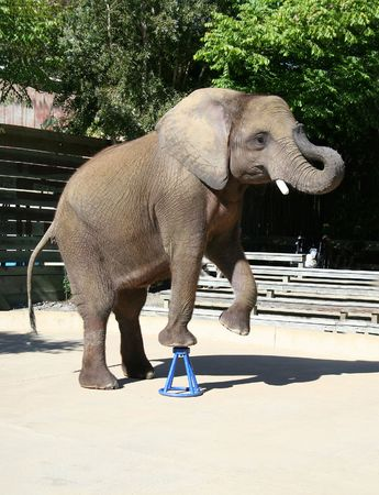 Elephant doing a trick at the zoo 免版税图像