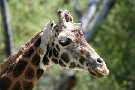 Close up of a giraffe Stock Photo - 475922