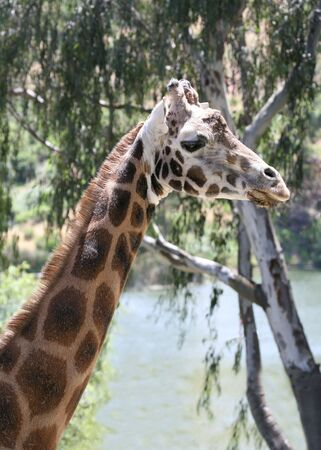 A giraffe in the wild Stock Photo - 477320