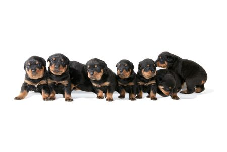 lined up: Several Rottweiler puppies lined up and isolated over white