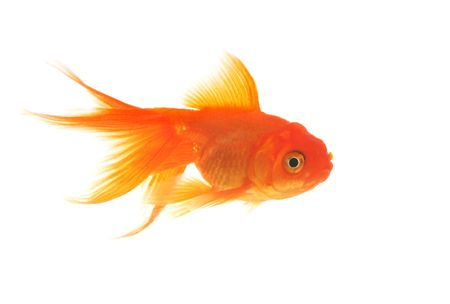 goldenfish: A beautiful, graceful goldfish swimming in the water