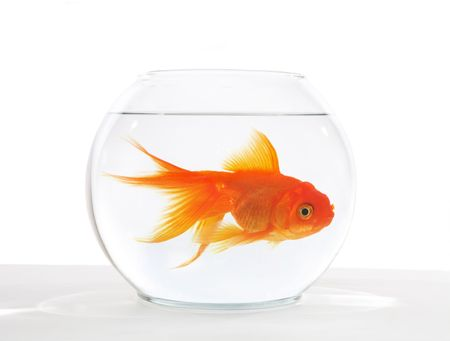 A large goldfish in a bowl that is too small