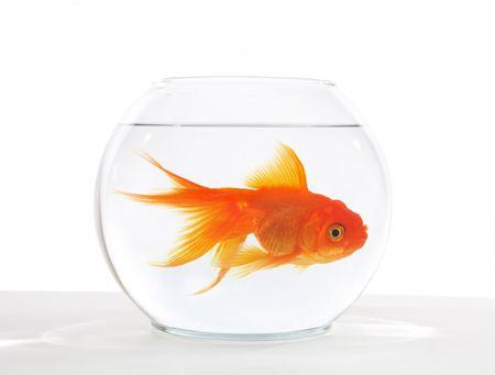 Een groot goudvis in een kom, dat is te klein Stockfoto