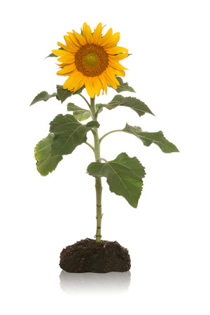 sunflower seeds: A pretty sunflower in planted in the dirt isoalted over white Stock Photo