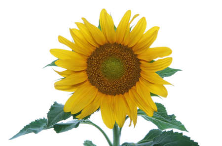 A pretty sunflower isolated over a white background Stock Photo - 1629929