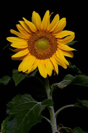 A pretty sunflower isolated over a black background Stock Photo - 1666898