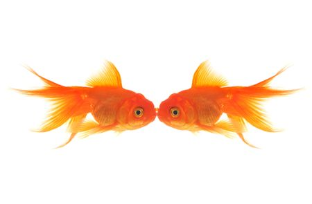 Two goldfish kissing while swimming in the water photo