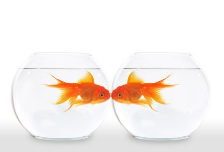 Two goldfish kissing while swimming in the water