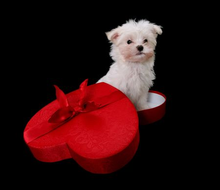 heart shaped: A cute little dog in a heart shaped box for a holiday