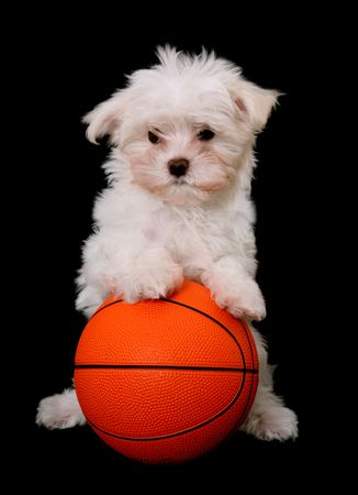 maltese dog: A small cute dog playing basketball over a black background