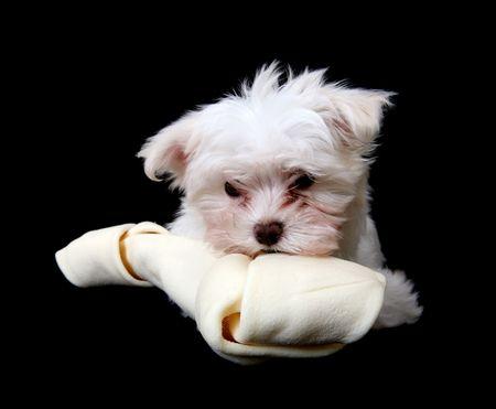 dog eating: A cute little dog eating  a big bone