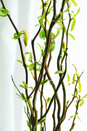 catkins: Spring twigs with first tender leaves and catkins