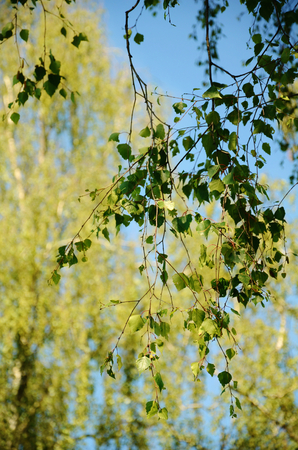weeping willow: Weeping willow tree growing natural outside closeup Stock Photo