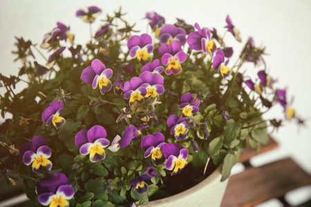 purples: Viola flowers violet and yellow densely blooming in a pot Stock Photo