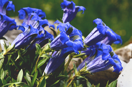 gentian flower: Gentian blue flowers blooming in spring
