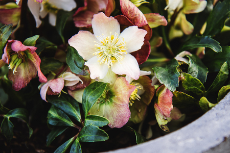 Stone garden arrangement with spring flowers in large concrete stock photo stone garden arrangement with spring flowers in large concrete plant pots close up of helleborus flowers also known as snow rose mightylinksfo