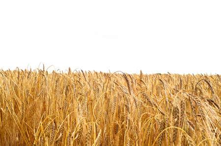 champ de mais: Cornfield on white background Banque d'images