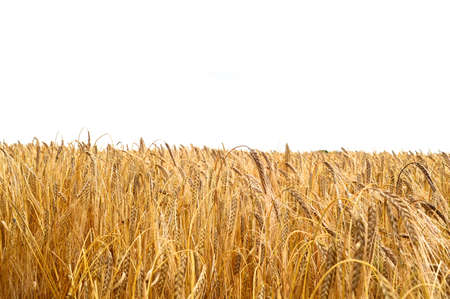 champ de mais: champ de maïs jaune