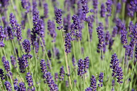 vibrancy: Lavender flower shot i daylight, no flash. Vibrancy and contrast boost. Stock Photo