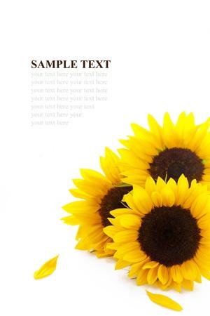 Three sunflowers on white background