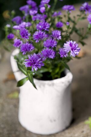 Bouquet of violet asters