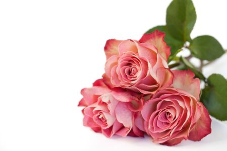Beautiful pink roses on white Stock Photo - 17236131