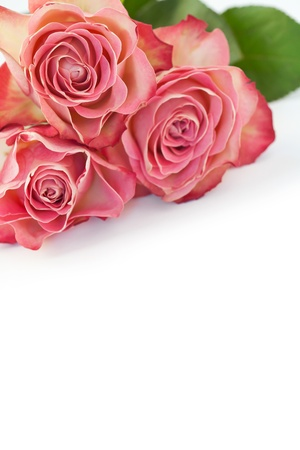 Beautiful pink roses on white Stock Photo - 17236123