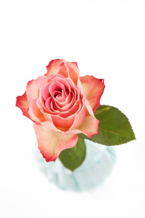 Beautiful pink rose on white Stock Photo - 17236124